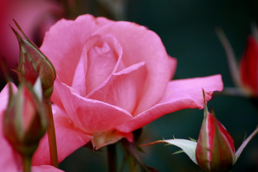 公園のバラ、その名は芳純