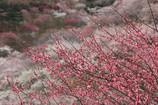 吉野梅郷、梅の公園