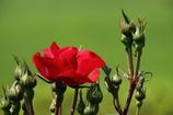 真っ赤に咲く