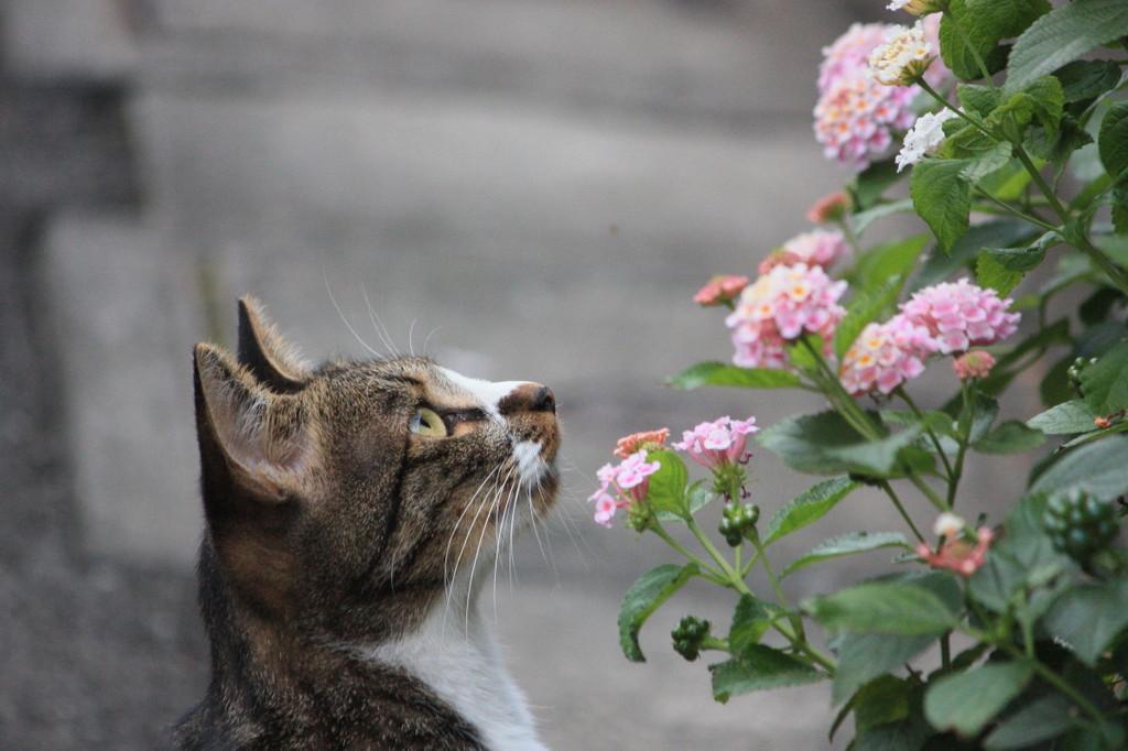 花愛でるネコ