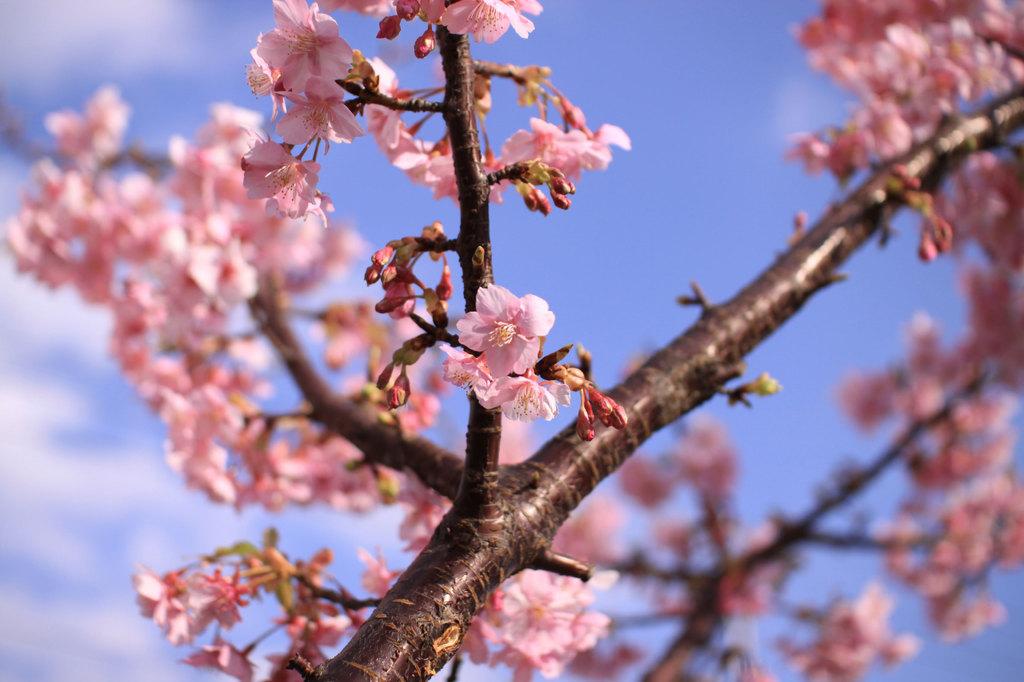 鮮やかな桃色♪