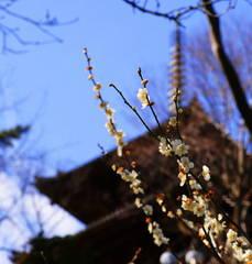 横浜三渓園の梅