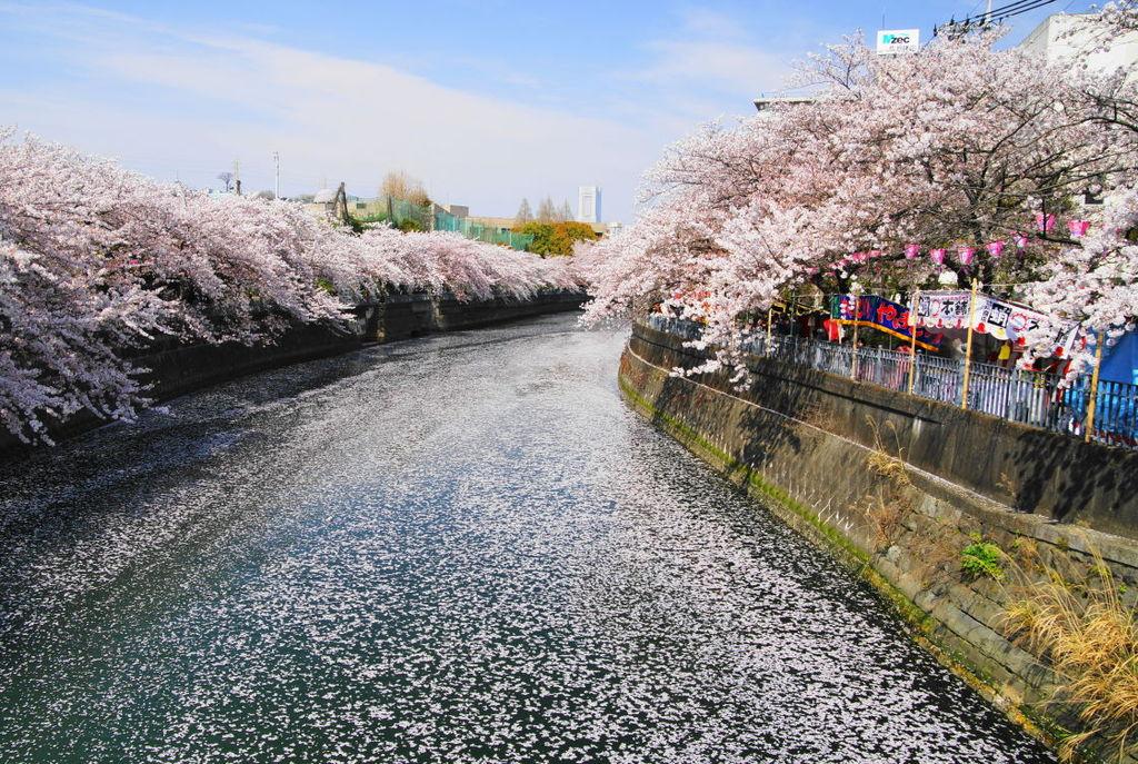 横浜大岡川の桜