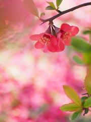 木瓜の花5