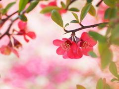 木瓜の花4