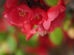 木瓜の花1