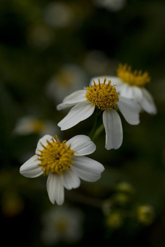 くっつき虫の花。