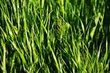 鋼のように輝く雑草