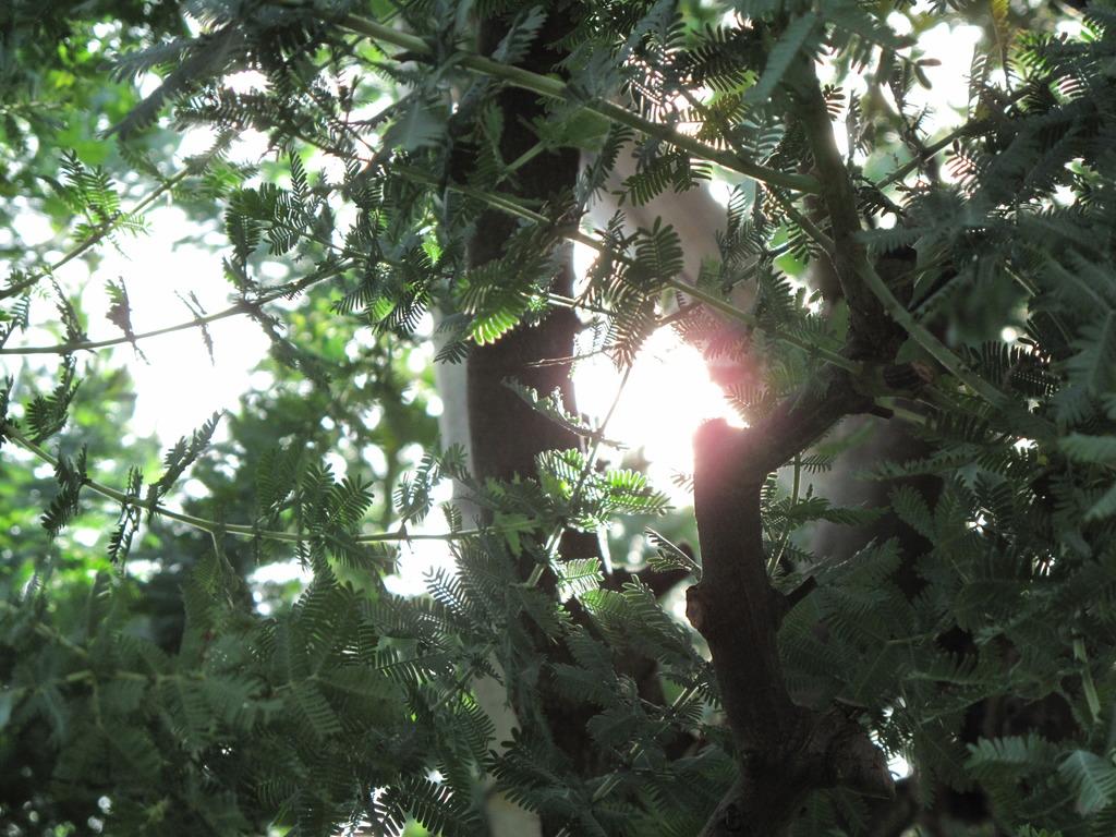 庭のミモザ