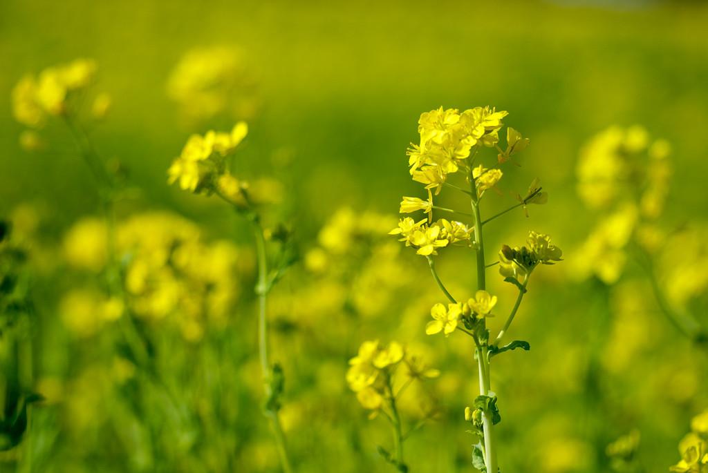 2009年初の 菜の花