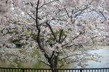 ご近所桜 2016 #1