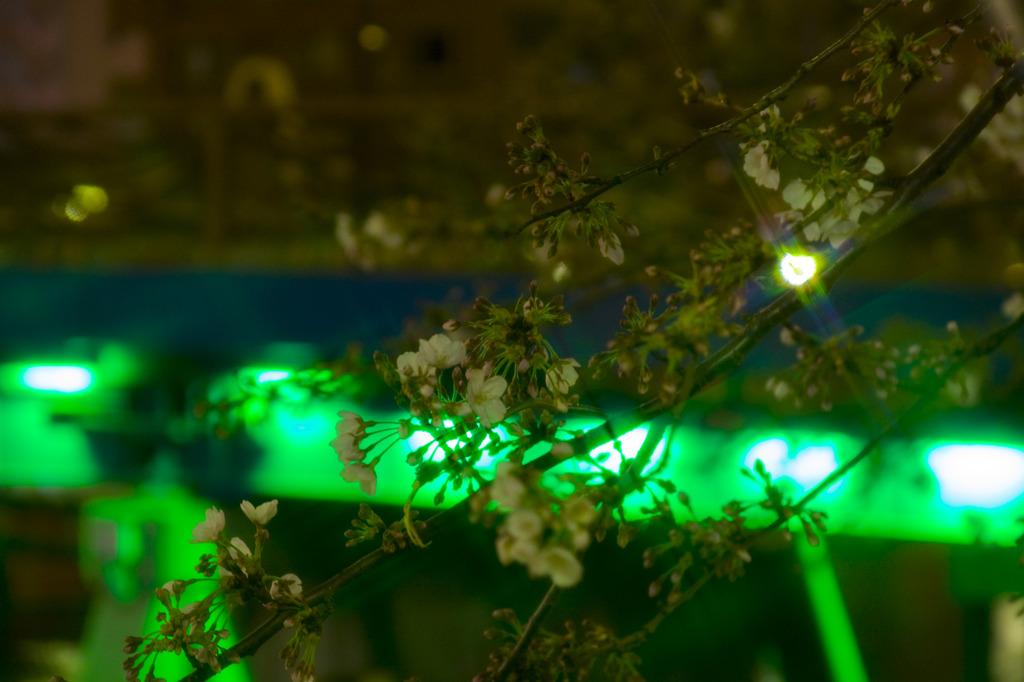 西仲橋と夜桜