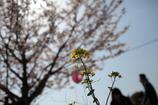 桜をバックに
