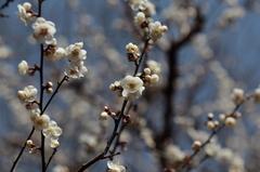 生田緑地の梅