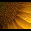向日葵の涙