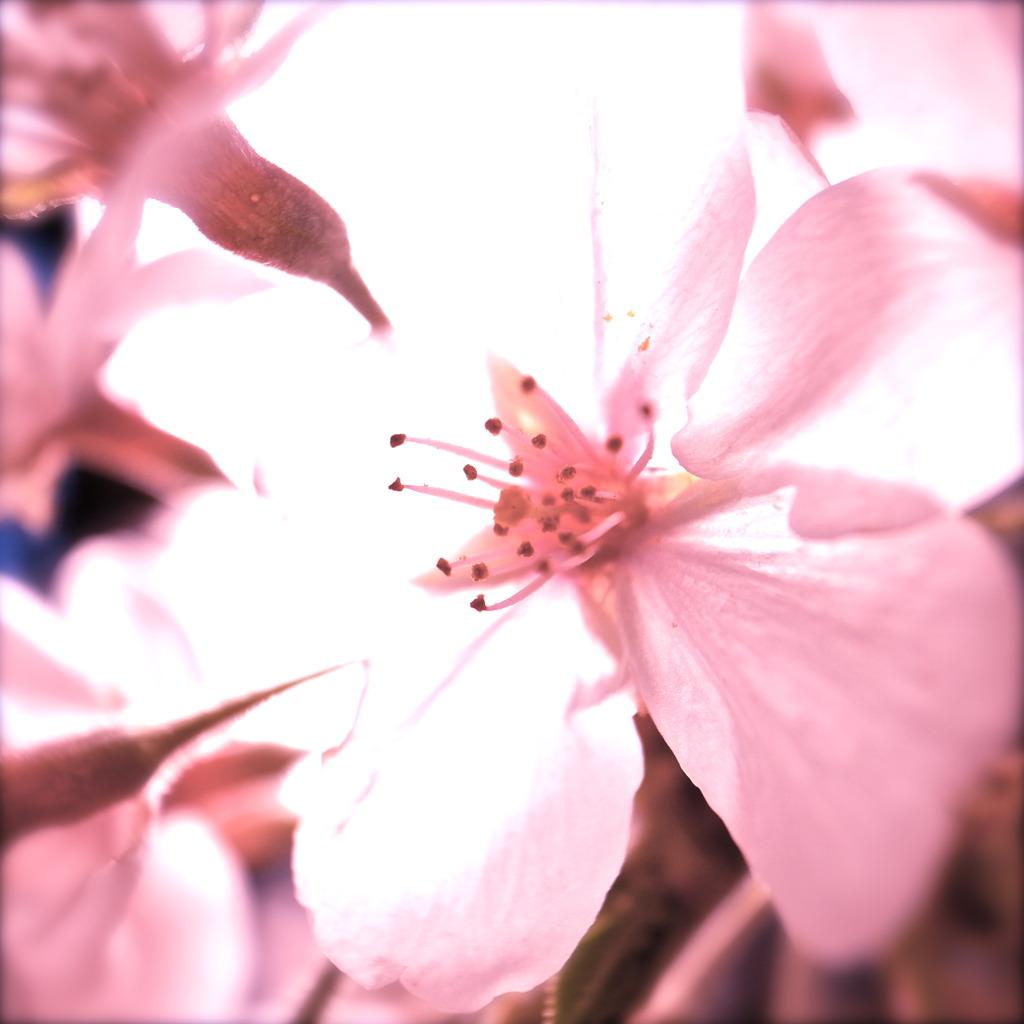 Cherry Pink 1