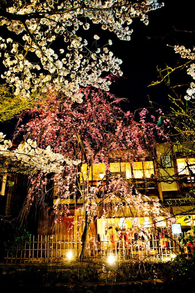 白川沿いの夜桜