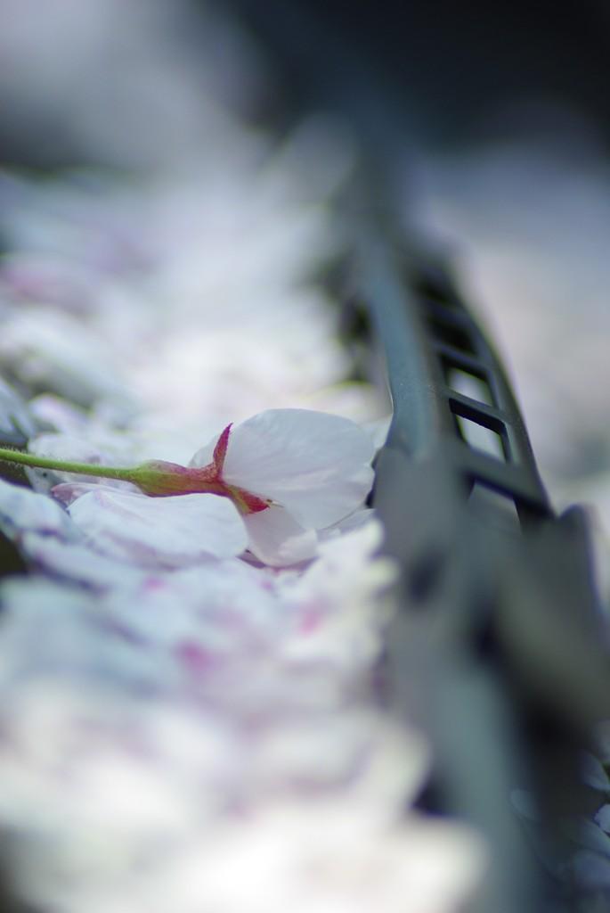 桜吹雪の中に