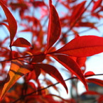 CANON Canon IXY DIGITAL 800 ISで撮影した植物(夕日でお洒落でもいかが)の写真(画像)