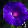 最初の青紫