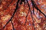 フウの木の下で