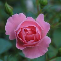 CANON Canon PowerShot Pro1で撮影した植物(朝一番)の写真(画像)