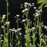 CANON Canon PowerShot Pro1で撮影した植物(ラジオ体操)の写真(画像)