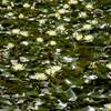 真昼の沼の星