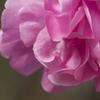 冬のピンク