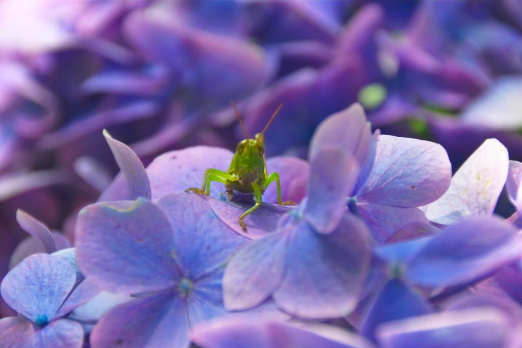 紫陽花の國から