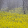 Misty Yellow
