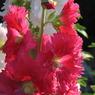 CANON Canon PowerShot Pro1で撮影した植物(タチアオイのアカ)の写真(画像)
