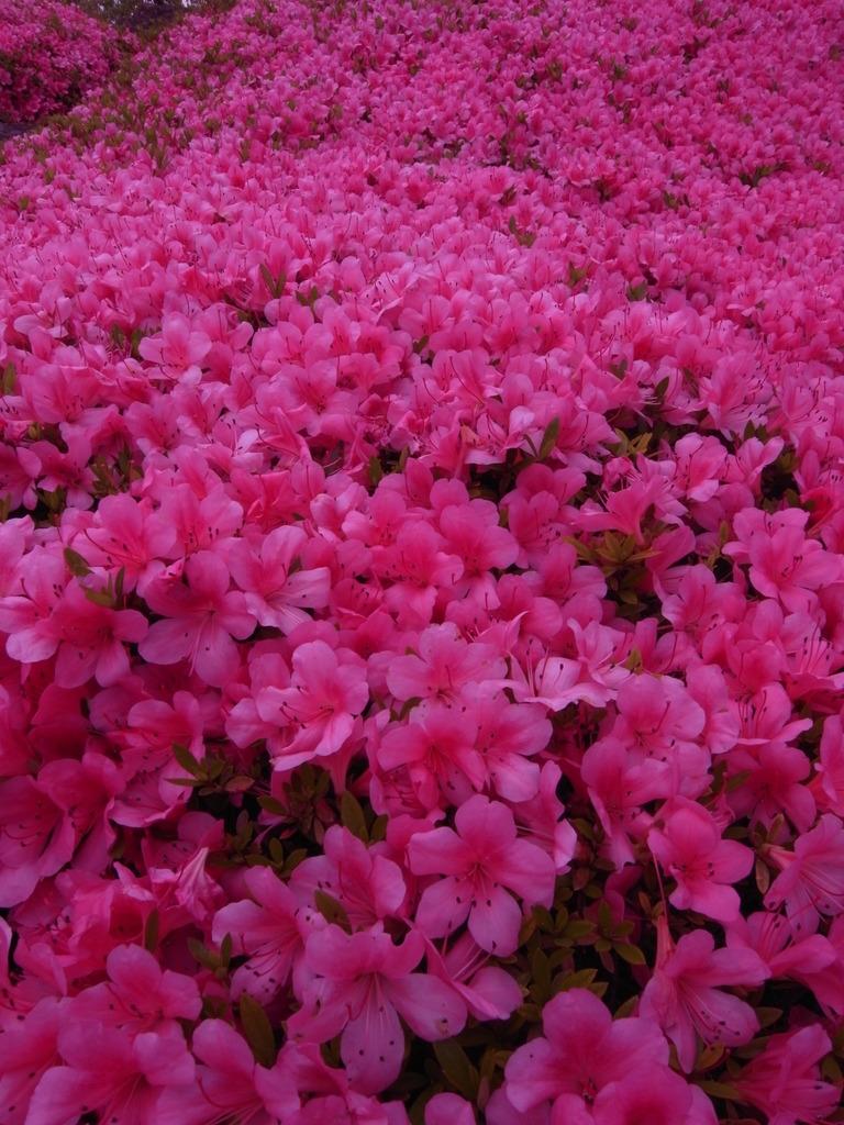 ピンクのジュータン