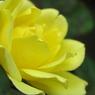 CANON Canon PowerShot Pro1で撮影した植物(黄色の品格)の写真(画像)