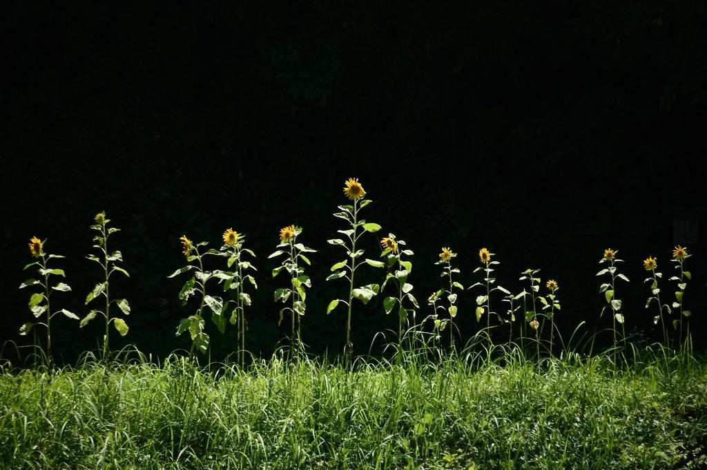向日葵一座