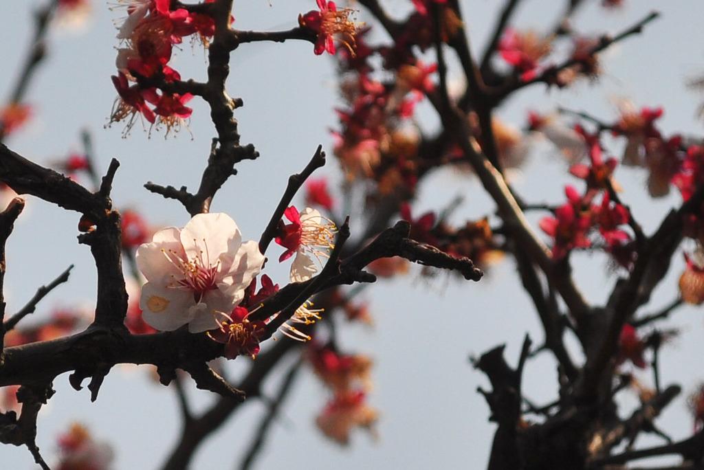 まだまだ桜には負けん!!