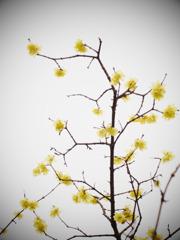 sheer blossom
