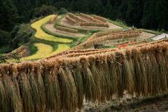 棚田の収穫