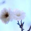 十月桜 2009