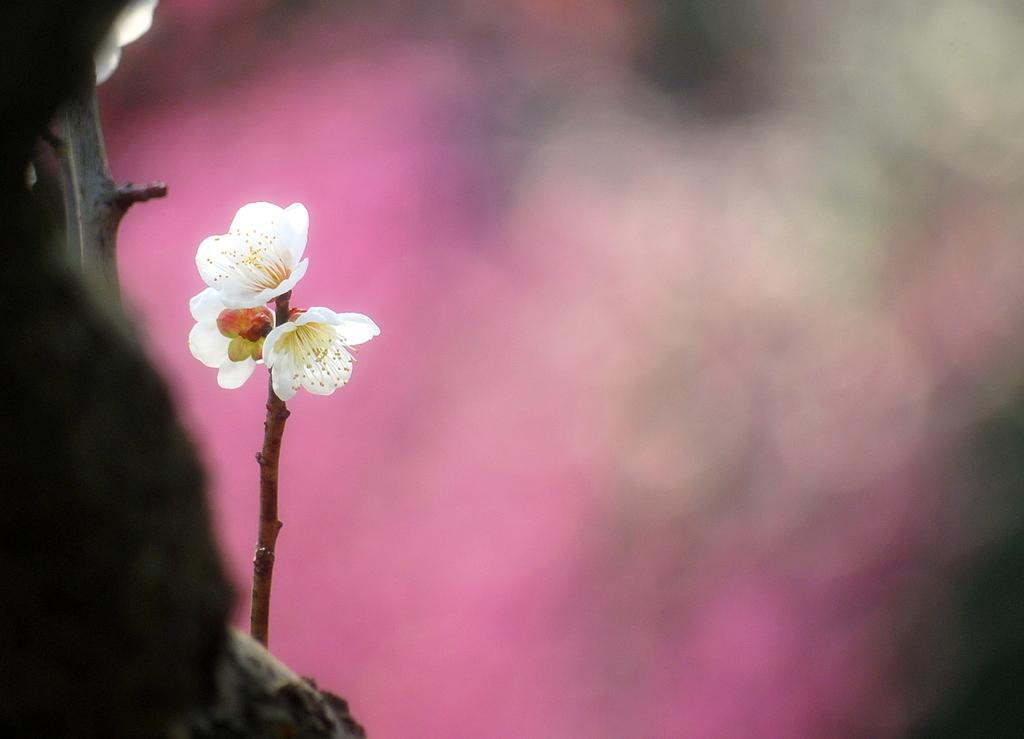 花のさきがけ『梅』