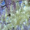河内藤園のフジの花