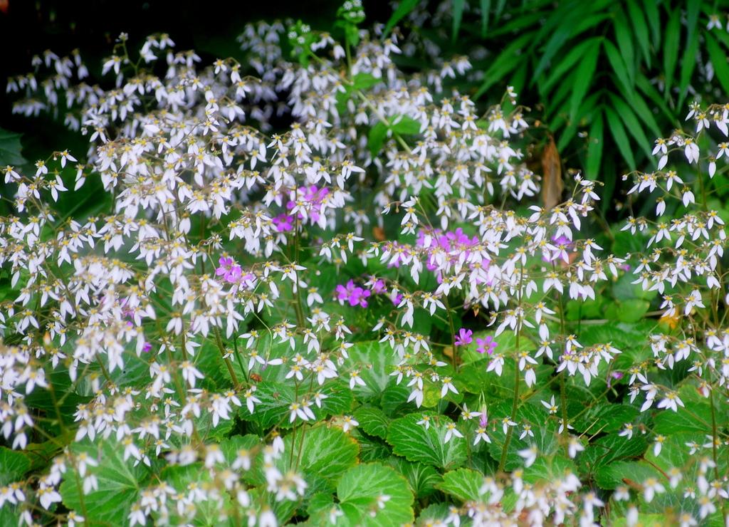 「雪ノ下」の花