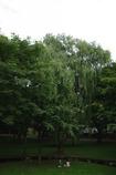 柳の木下で