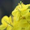菜の花の夢