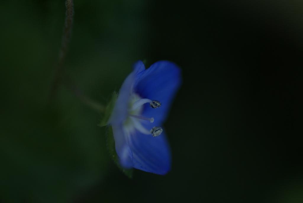 ひかえめに咲く