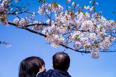 これが桜だよ