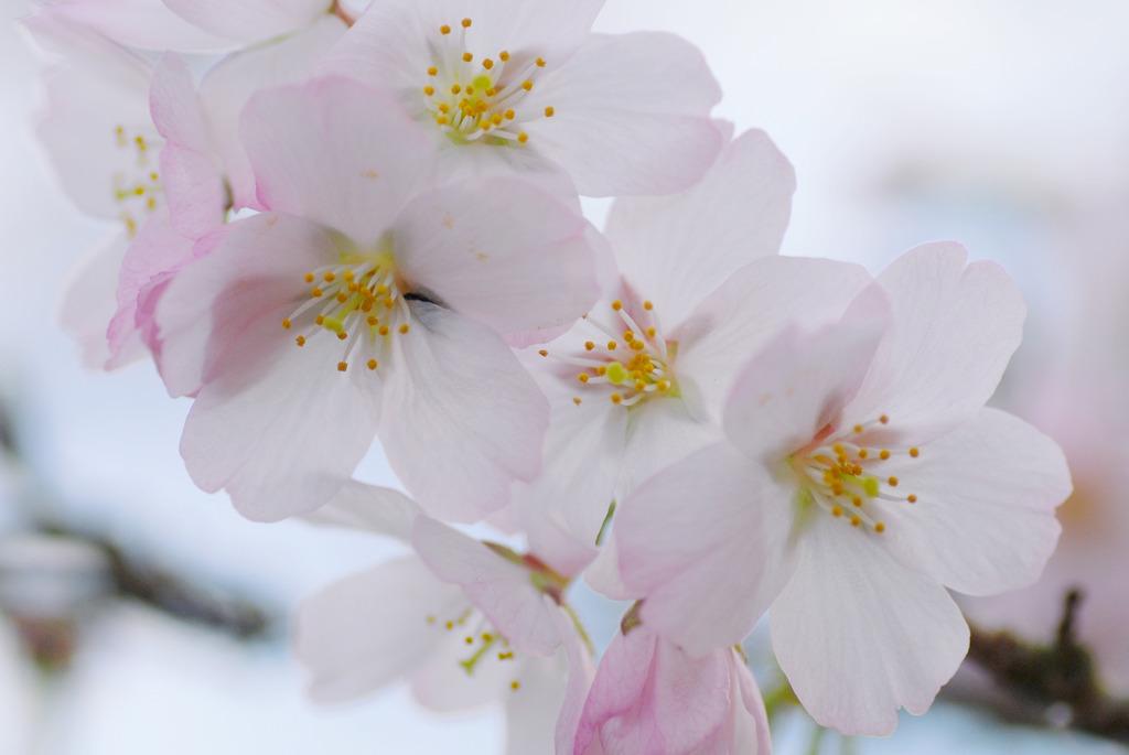 さくらサクラ桜