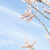 梅×飛行機雲