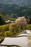 棚田に咲く桜