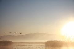 The swan to sunrise